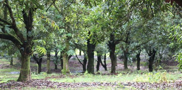 Healthy Macadamia Nut Trees
